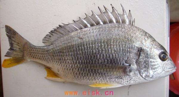 《常吃的海鱼名称图片》