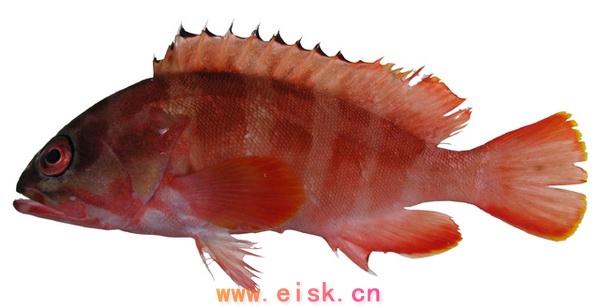颌齿单列.脊椎骨数128-131.   油锥鱼身长且扁,没有胸鳍,腹鳍.