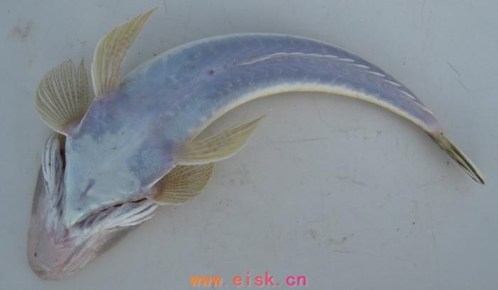 扁海鱼的名字图片大全